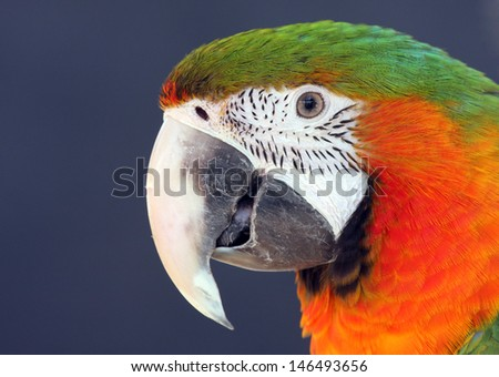 Closeup of Macaw parrot showing bright orange and green feathers. - stock photo