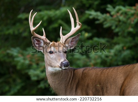 Closeup of majestic whitetail deer buck framed by dense forest. - stock photo