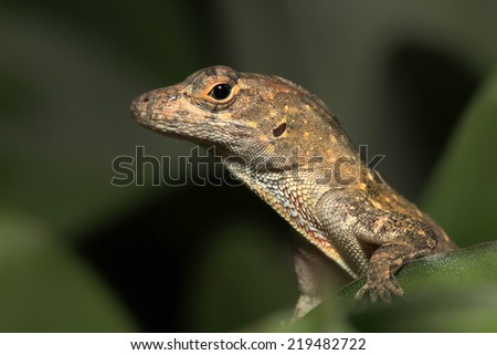 Closeup of Male Brown Anole - stock photo
