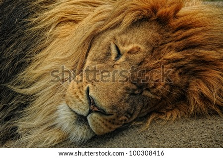 Closeup of male lion napping - stock photo