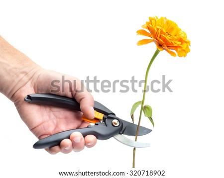 Closeup of man's hand cutting orange zinnia flower with black shears on white background - stock photo