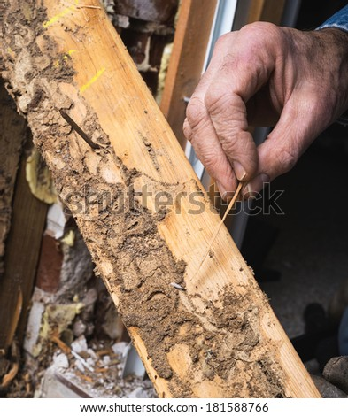 Closeup of man's hand pointing out termite damage and a live termite.