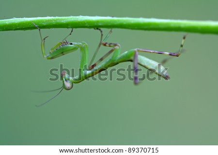 closeup of mantis, nature photography, north china.