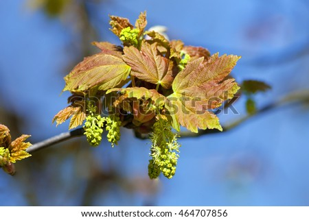 Closeup of Maple Flower at Blossom in Spring