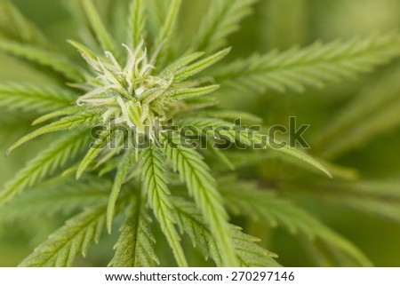Closeup of Marijuana plant - stock photo