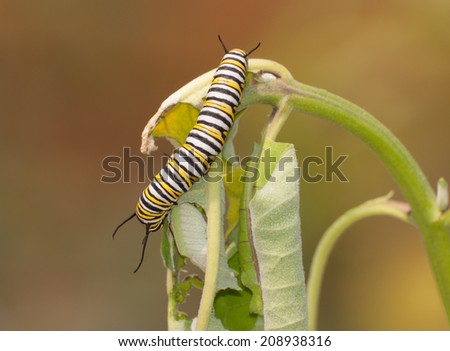 Closeup of monarch butterfly in caterpillar stage munching on milkweed plant - stock photo
