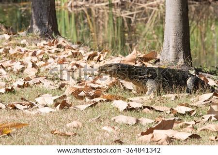 Closeup of monitor lizard - stock photo