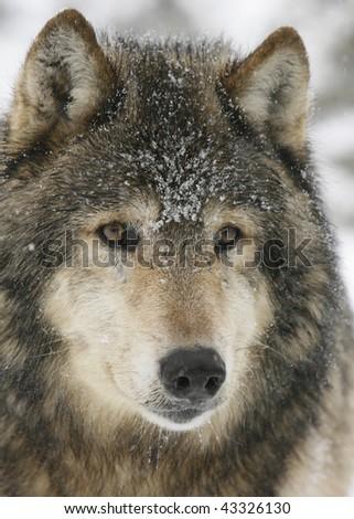 Closeup of North American Grey Wolf - stock photo