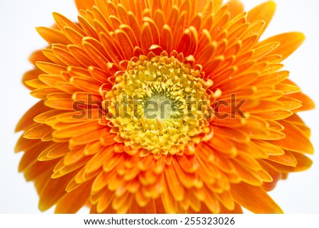 Closeup of orange daisy on white background