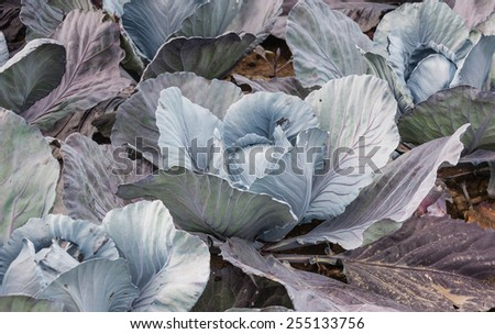 Closeup of organic cultivated red cabbages in a Dutch field.