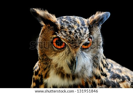 Closeup of Owl on the black background - stock photo