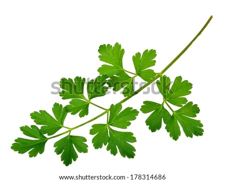 Closeup of parsley leaves on a white background.