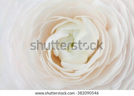 Closeup of peach ranunculus for abstract background, beautiful spring flower, wedding floral pattern, macro, shallow DOF - stock photo
