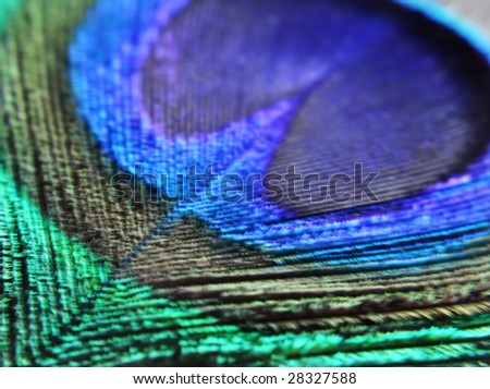closeup of peacock's feather - stock photo