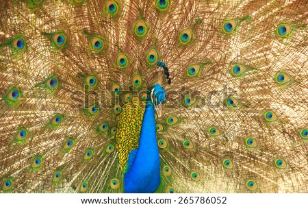 Closeup of Peacock with crown and feathers. - stock photo