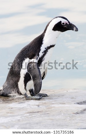 Closeup of penguin standing by a pool of water