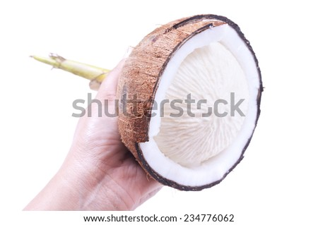 Closeup of person holding cracked open sprouted coconut with round meat inside on white background - stock photo