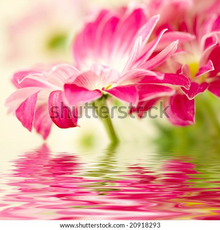 Closeup of photo  pink daisy-gerbera - stock photo