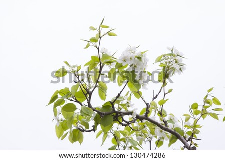 closeup of pictures, pear tree in the sky