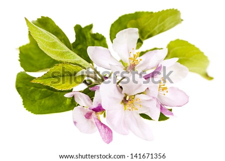 Closeup of pink apple blossoms isolated on white background - stock photo
