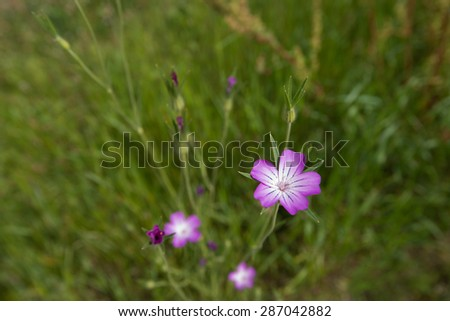 Closeup of pink flowering corncockle or Agrostemma githago plants between the blurred grass of a meadow in springtime. - stock photo
