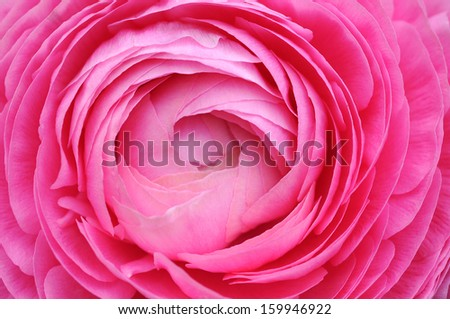 Closeup of pink persian buttercup flower isolated on white