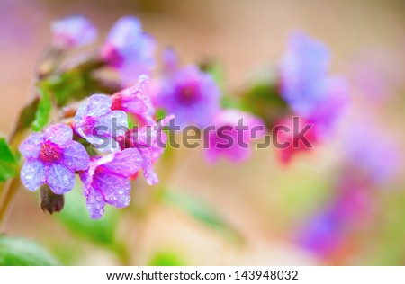 closeup of pink purple blue spring flowers, Pulmonaria, in Canada with water droplets - stock photo