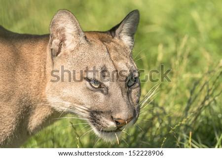 Closeup of Puma (Felis Concolor) - stock photo