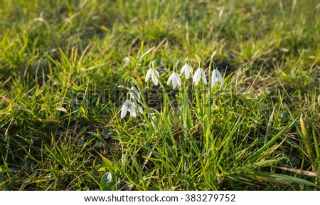 Closeup of pure white blooming common snowdrops or Galanthus nivalis plants growing between the grass in a Dutch nature reserve from close. - stock photo