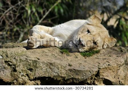 Closeup of rare white front lioness (Panthera leo) lying on rock - stock photo