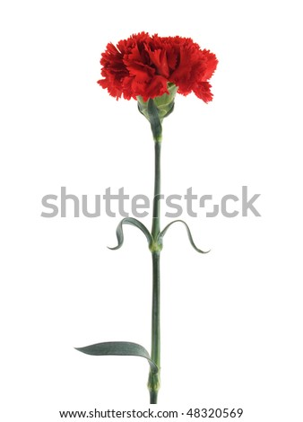 closeup of red carnation isolated on white