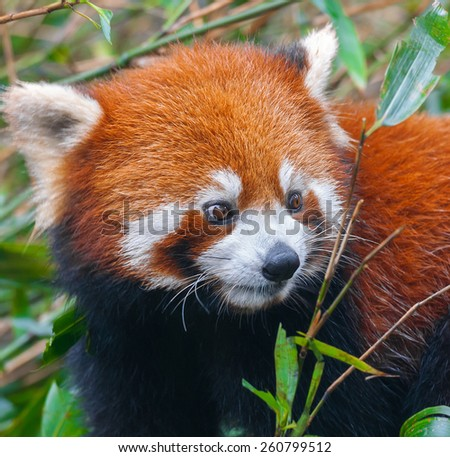Closeup of red panda - stock photo