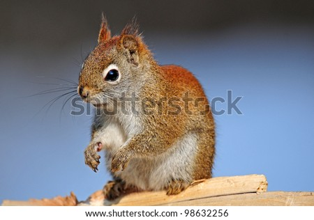 Closeup of red squirrel