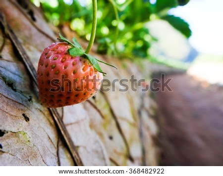 Closeup of red strawberries with planting strawberry background