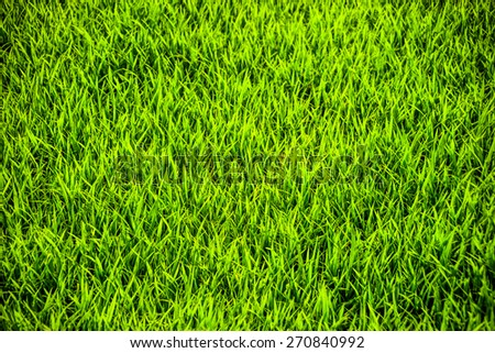 Closeup of rice field. Green background for food and agriculture or abstract backdrop. - stock photo