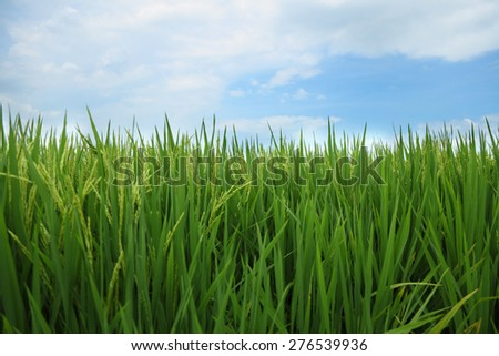 Closeup of rice paddy field