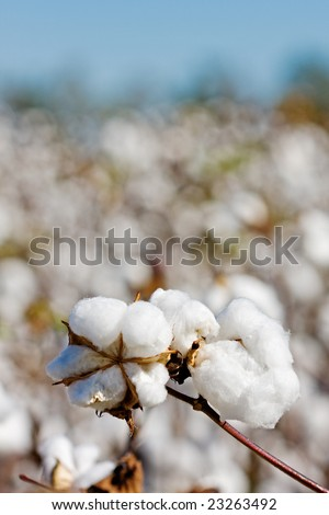 closeup of ripe cotton plant with the cotton field in the background - stock photo