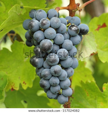 closeup of ripe hanging bunch of red wine grapes , region of Chianti Rufina, Florence, Tuscany, Italy, Europe - stock photo