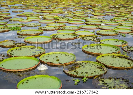 Closeup of river with Victoria Regias in Brazilian Panantal wetlands - stock photo
