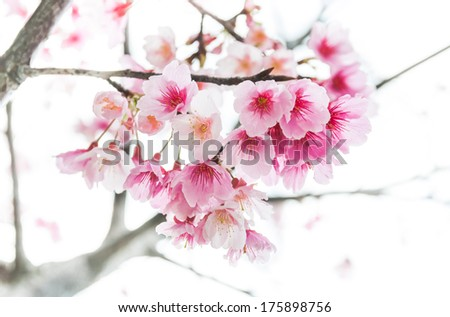 Closeup of Sakura or Cherry blossom flower