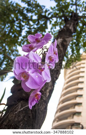 closeup of scenic blossom orchids on tree in Sao Paulo city - stock photo