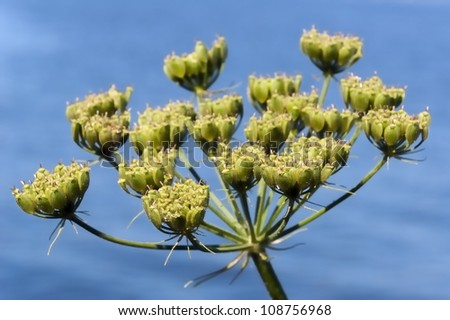 Closeup of seed pods of Heracleum sphondylium or Common Hogweed against the blue water surface.