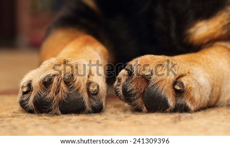 Closeup of shepherd dog's paws lying on the carpet - stock photo