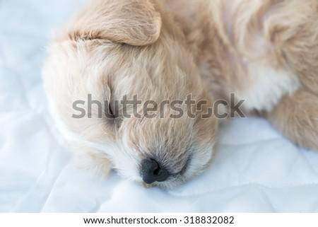 Closeup of Shih Tzu dog sleeping.Shih-Tzu dog. Black and white - stock photo