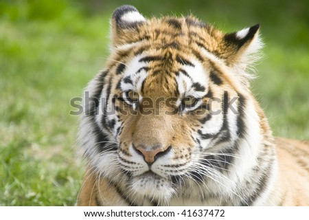 Closeup of Siberian tiger (Panthera tigris altaica)