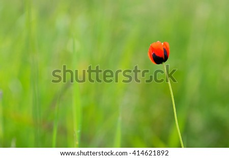 Closeup of single poppy flower in field of grass. Isolated. - stock photo