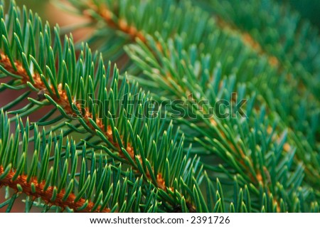 Closeup of Sitka Spruce needles (Picea sitchensis) - stock photo