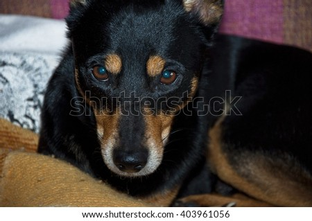 Closeup of sleepy tired relaxing young beautiful pure breeded dog black and brown fur color comfortably lying on plaid on bed indoor - stock photo