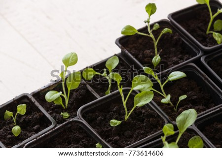 Closeup of small plans sprouts in black plactic pots. Gardening.