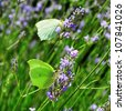 closeup of some green butterflies in lavender flowers in the summer - stock photo